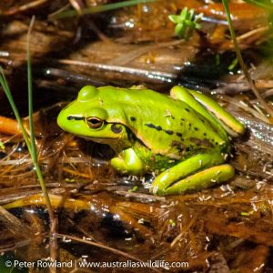 Southern Bell Frog (Growling Grass Frog)