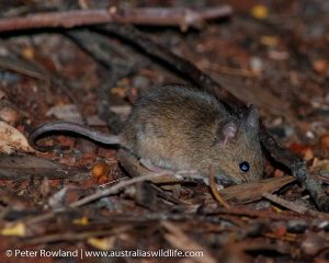 A House Mouse searching for food on the bush floor